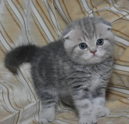 Шотландские вислоухие кошки как