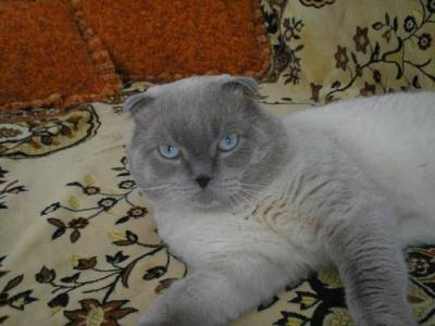 Окрасы кошек окрасы делятся на